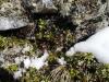 Preiselbeeren 9.April auf 2200 m