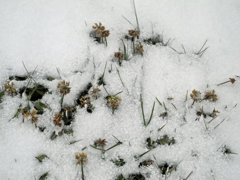 Klee im Schnee1