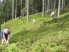 Heidelbeeren-riffeln