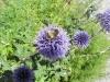 Kugeldistel5  Biene