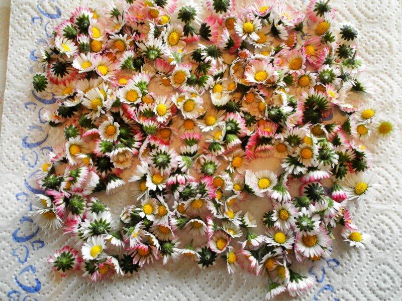 Gaenseblümchen
