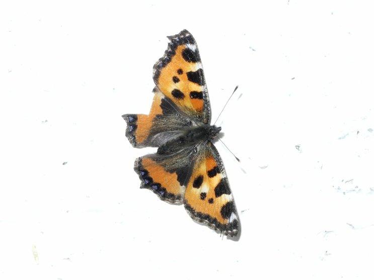 Schmetterling großer Fuchs3
