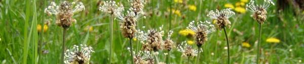 Spitzwegerich (Plantago lanceolata)