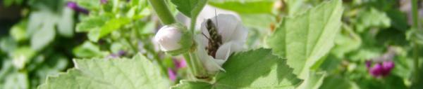 Echter Eibisch (Althaea officinalis)