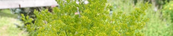 Echte Labkraut (Galium verum),