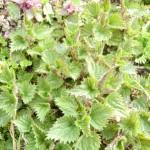 Große Brennnessel (Urtica dioica) wächst bereits