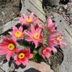Gewöhnliche Kuhschelle (Pulsatilla vulgaris), die Blüten blühen heuer alle gleichzeitig