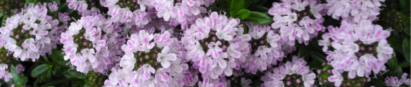 Bohnenkraut (Satureja hortensis)