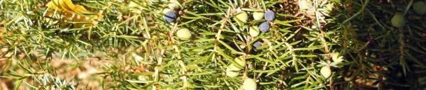 Wacholder (Juniperus)
