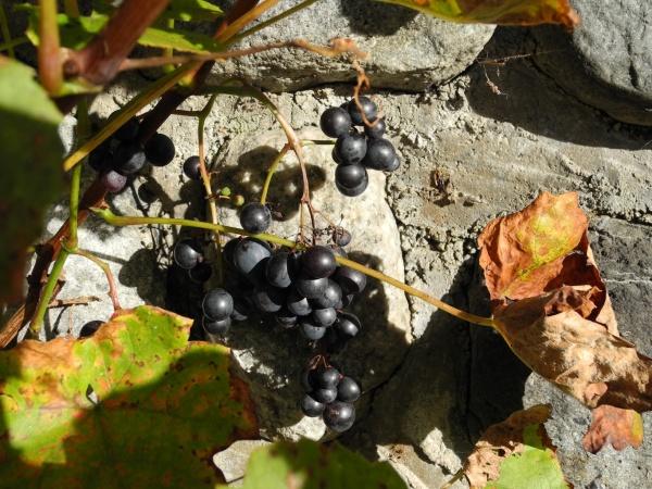 blaue Weintrauben aus eigenen Garten