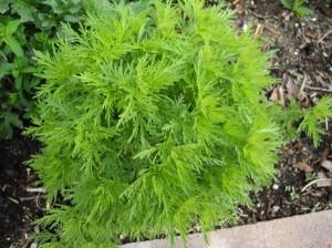 Eberraute (Artemisia abrotanum) im April