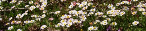 Gänseblümchen (Bellis perennis)