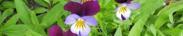 wildes Stiefmütterchen (Viola tricolor)